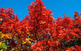 Colorful autumn leaves background, a rowan tree.