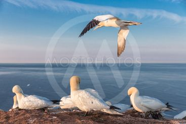 Northern gannets in breeding colony at cliffs of German...