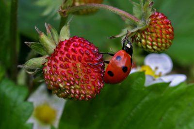 Wild Strawberry_50