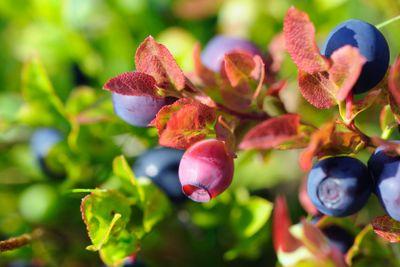 Unripe bilberry