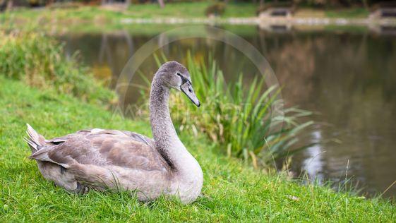 Swan lying near the lake.