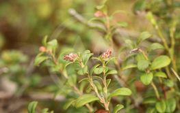 Flower buds of Vaccinium vitis-idaea, the lingonberry