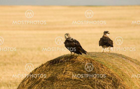 Swainson Hawks on Hay Bale