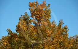 autumn colored tree background, colorful autumn leaves...