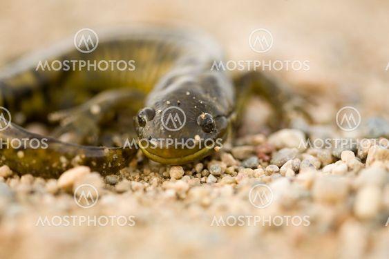 Sulje ylös Tiger Salamander