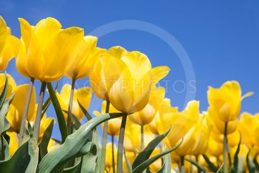 Dutch field with yellow tulips and a blue sky