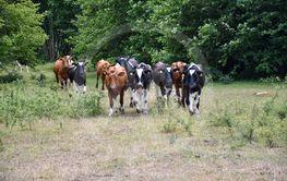 En flock kor kommer springande i en glänta