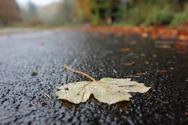 Maple leaf on wet path after rain