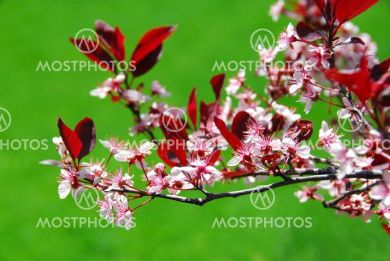 Bloomig cherry tree