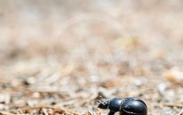 a dung beetle (Anoplotrupes stercorosus)