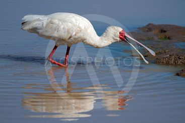 African spoonbill foraging