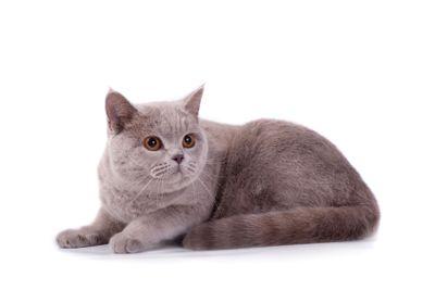 The Scottish cat