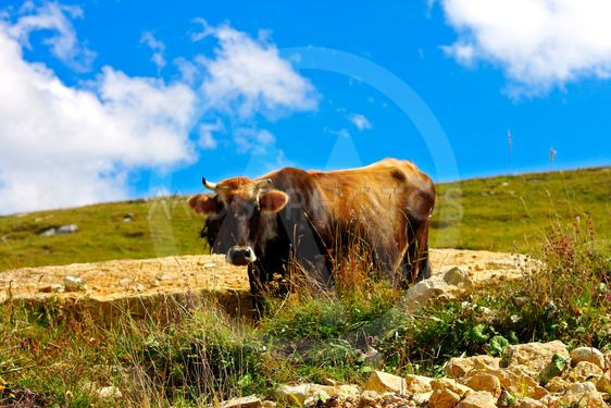 Lonely Cow On The Caucasus Mountain Grassland