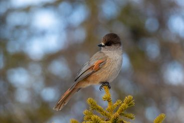 Siberian jay bird perched on conifer branch