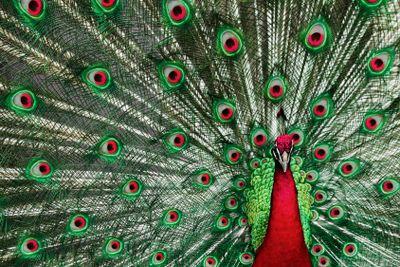 Holiday Peacock
