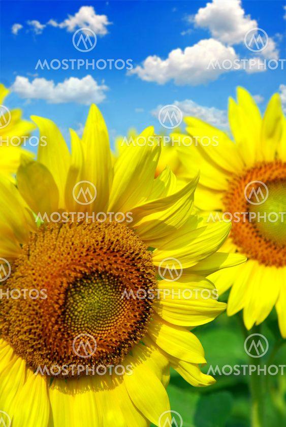 Solros fältet