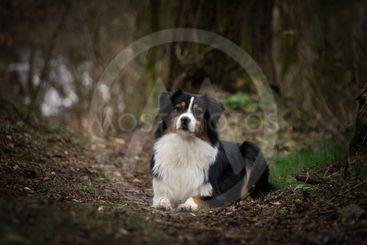 australian shepherd lies in forest on the road,