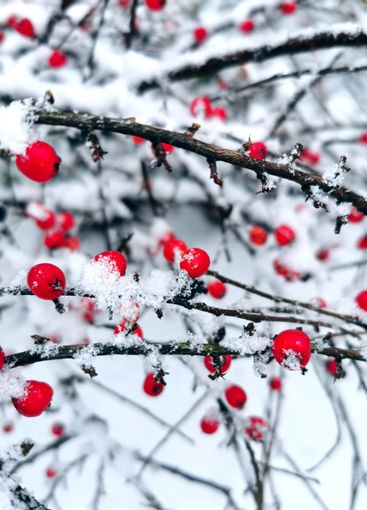 Red berries covered with freshly fallen snow