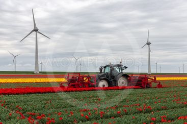 Tractor harvesting tulips on the field with mechanical...