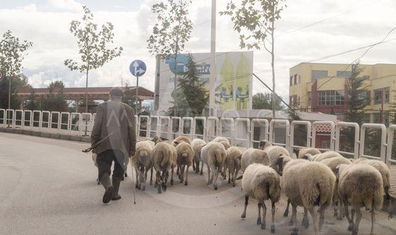 """Fåraherde på promenad"""" av Göran Waldt - Mostphotos"""