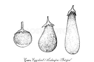 Hand Drawn of Green Eggplant, Aubergine and Brinjal