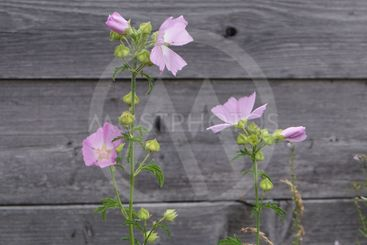 Beautiful field bindweed in bloom