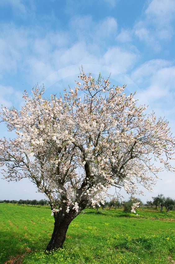 almond tree blooming in the alentejo region, Portugal