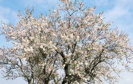 almond tree blooming in the alentejo region, Portugal