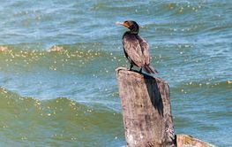Lonely cormorant on waiting for relatives