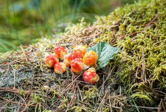 Cloudberry on a green vegetative background in wood....