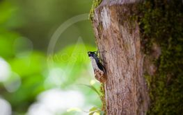 Exotic bug on a tree trunk at Borneo Malaysia