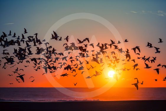 Silhouettes flock of seagulls over the Sea during...