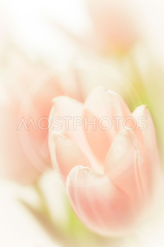 Romantic soft image of pink tulips