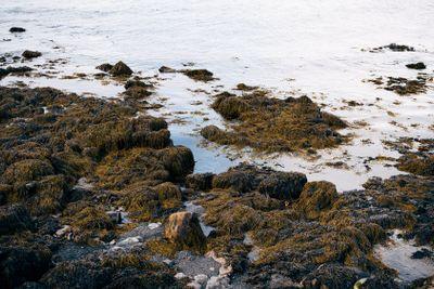 Stones in algae on the ocean in Reyikjavik, Iceland.