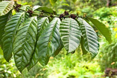 Fresh tobacco leaves