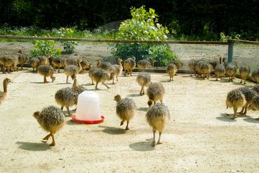 Baby ostriches on a farm