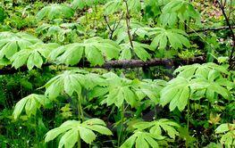 Podophyllum or Mayapples on a forest floor