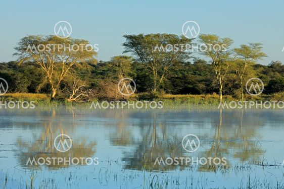 Fever trees and lake landscape