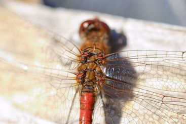 Dragonfly Wing Joints