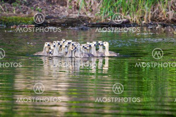 En grupp av kanadensiska gässlingar