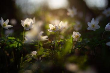 Wood anemone flower close-up.
