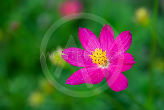 Close up of pink cosmos flower in blur background.