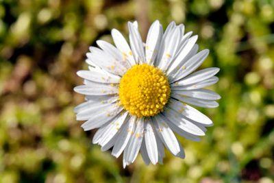 Daisy with pollen