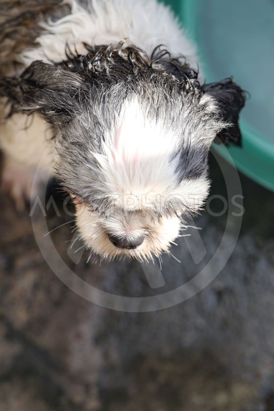 Headers of Shih Tzu are upcoming showers.