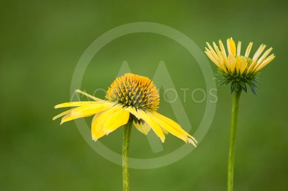 yellow echinacea in a public garden