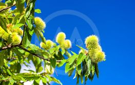 Chestnut in august on the blue sky