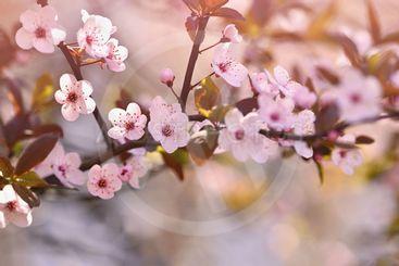 Spring background. Beautiful flowering tree Japanese...