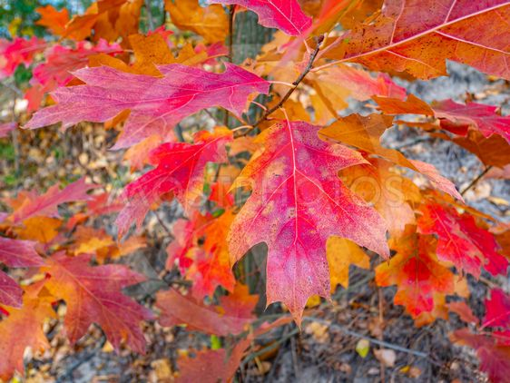 Red autumn oak tree leaves.