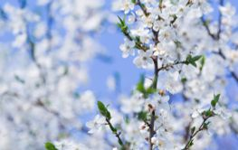 bee in Spring flowers blooming fruit tree wallpaper