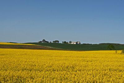 Rapsody in yellow